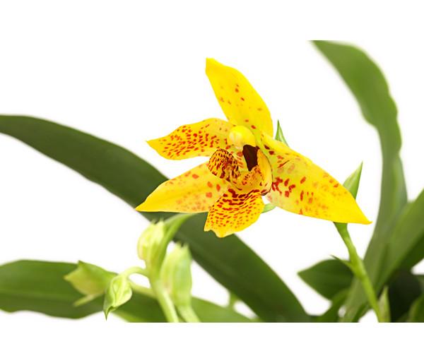 Promenaea - Orchidee 'Sunlight'