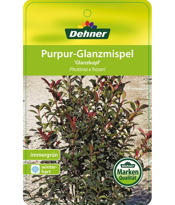 Purpur-Glanzmispel, Photinia 'Glanzkopf'