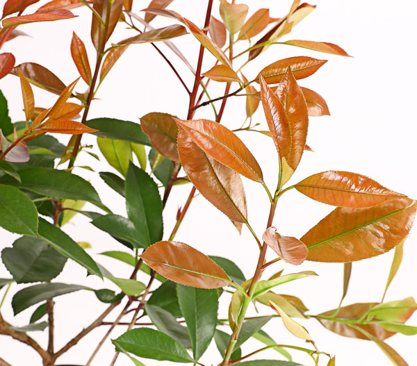 Purpur-Glanzmispel 'Red Robin'