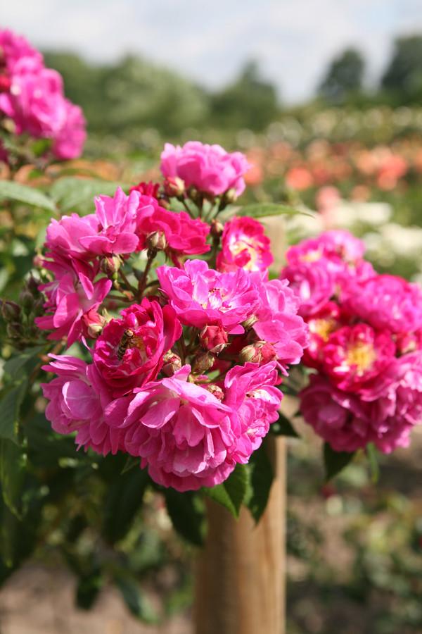 Ramblerrose 'Perennial Blue'®