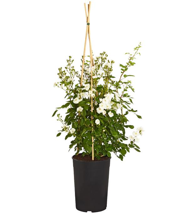 Rambler-Rosen, verschiedene Sorten