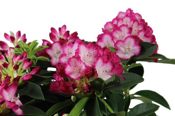 Rhododendron 'Mega'