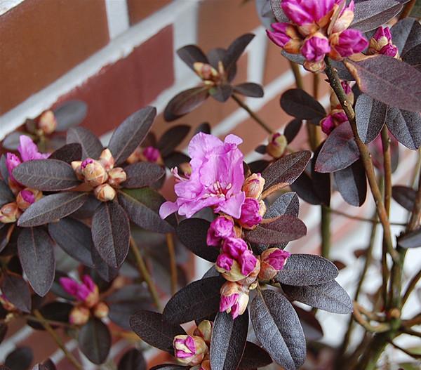Rhododendron 'P. J. Mezitt'