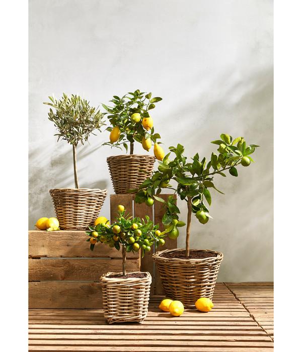 Riesen-Zedrat-Zitrone