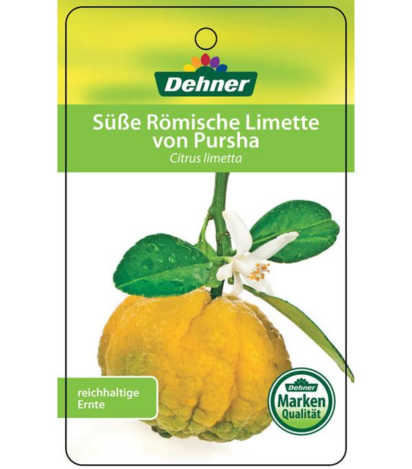 Römische Limette 'Pursha', Ministamm