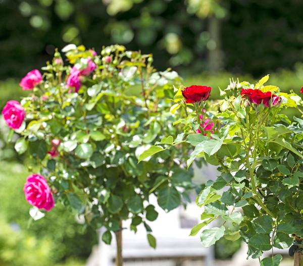Rosenhalbstamm