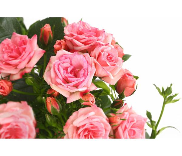 Rosen-Stämmchen, 50 cm