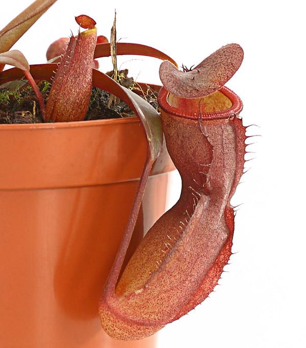 Rotblättrige Kannenpflanze