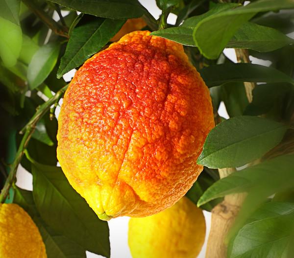 Rote Zitrone 'Limon rosso'