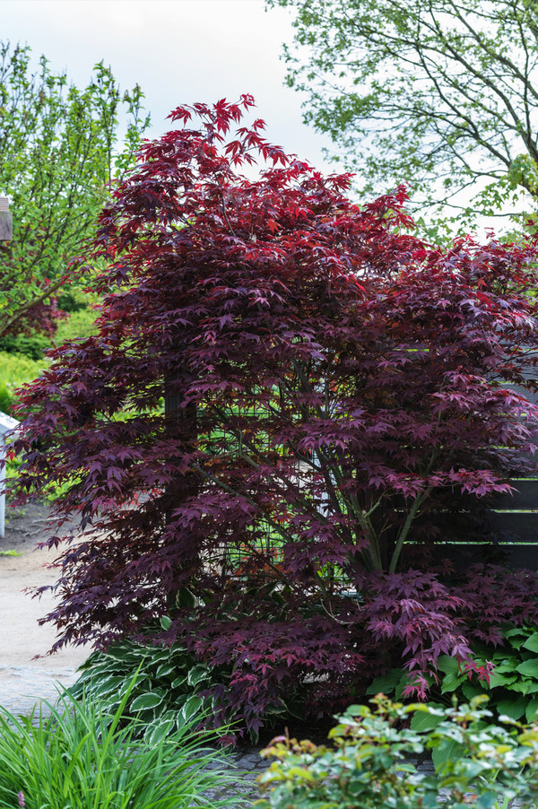 Roter Fächer-Ahorn 'Atropurpureum'