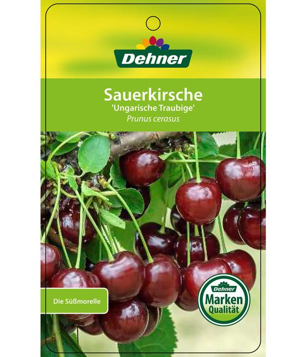 Sauerkirsche 'Ungarische Traubige', Busch