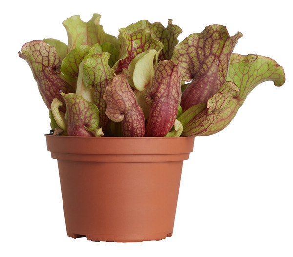 Schlauchpflanze, Mix