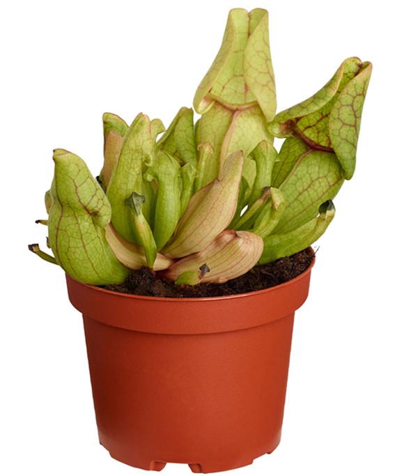 Schlauchpflanze 'Venosa Red'