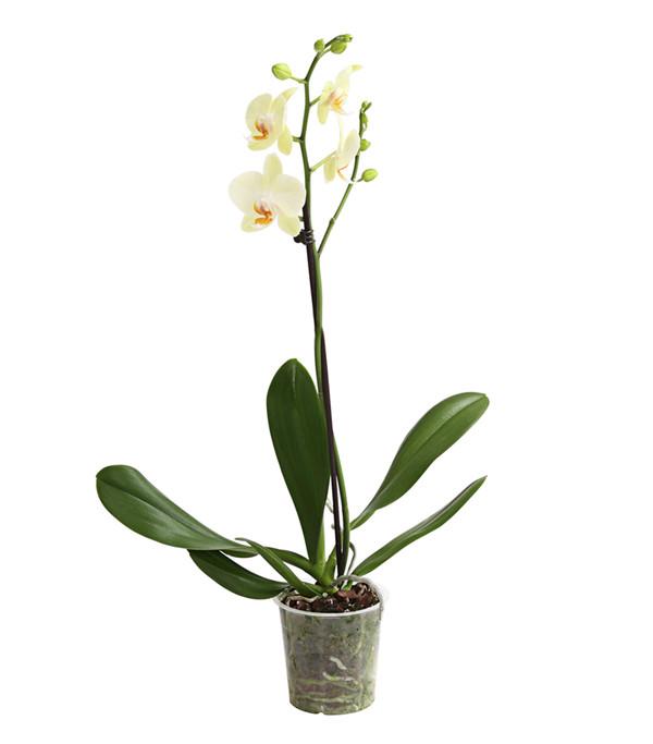 Schmetterlingsorchidee, 1-Trieber, Sortenmix