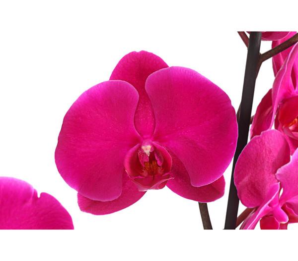 Schmetterlingsorchidee, 2-Trieber