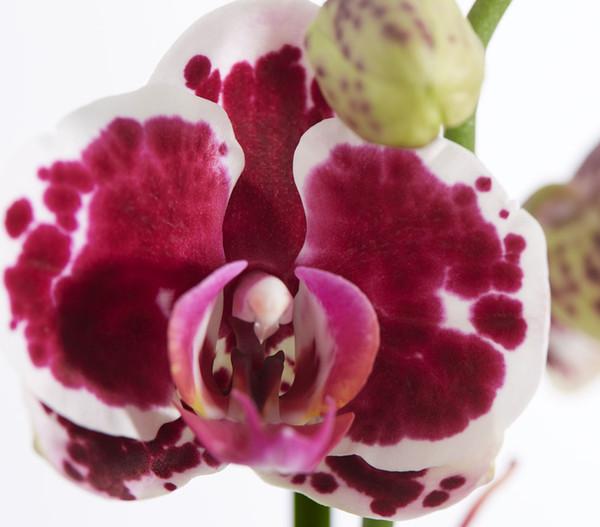 Schmetterlingsorchidee, 3 Trieber