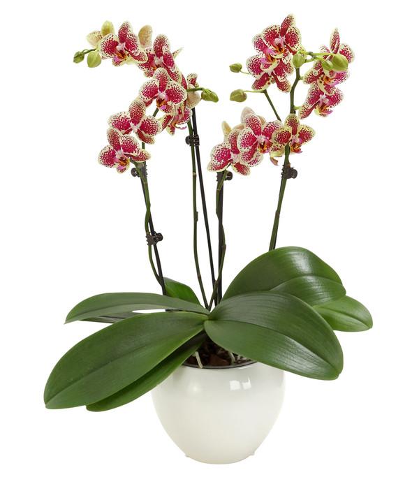 Schmetterlingsorchidee, 3/4-Trieber, in Keramik