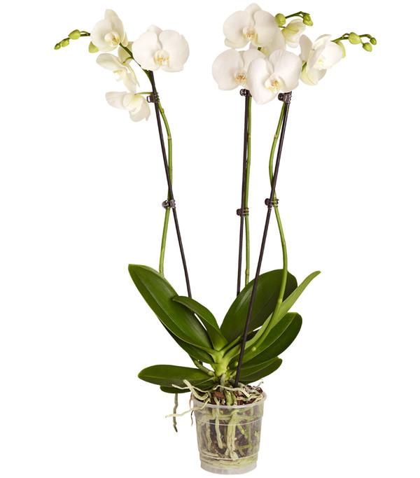 Schmetterlingsorchidee, 3-Trieber, Sortenmix