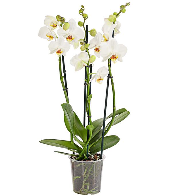 Schmetterlingsorchidee, 4-Trieber, Mix