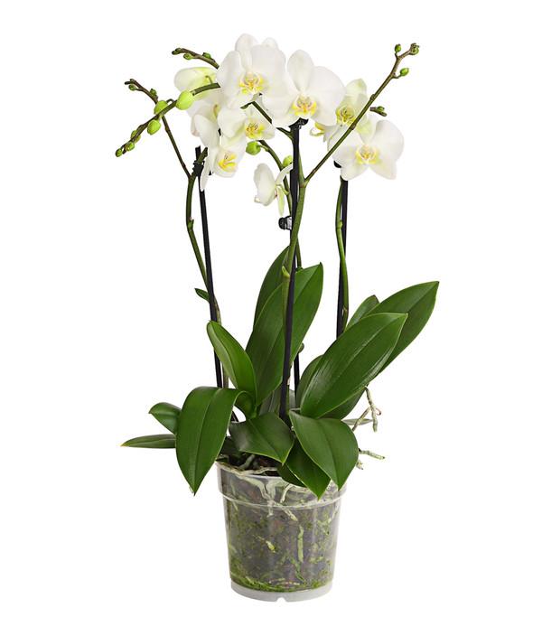 Schmetterlingsorchidee, 4-Trieber, Sortenmix