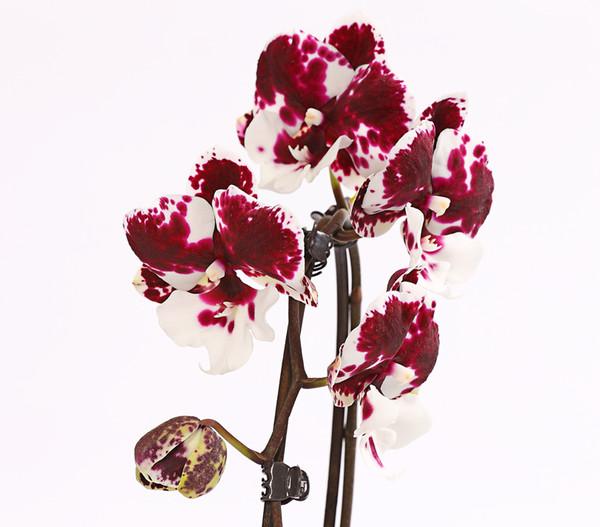 Schmetterlingsorchidee 'Big Lip', Cascade