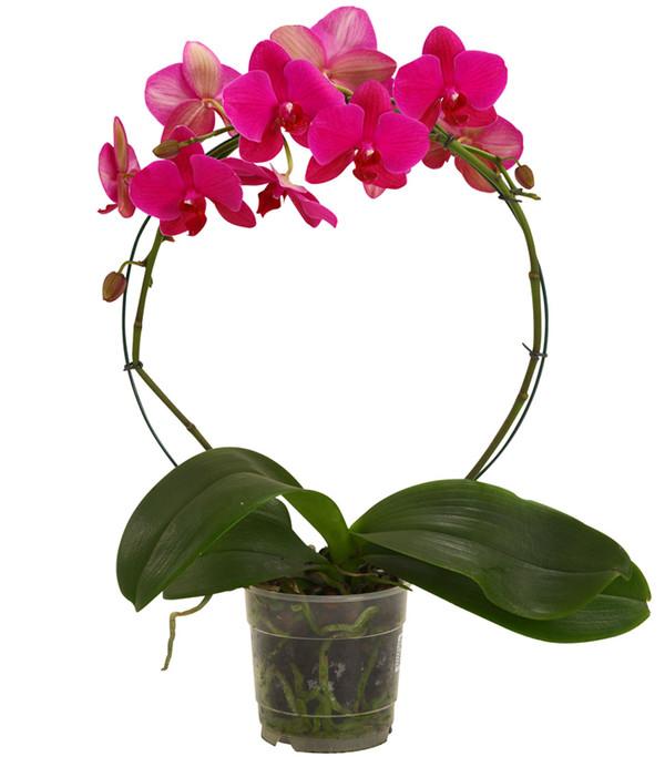 Schmetterlingsorchidee, Bogen, Sortenmix