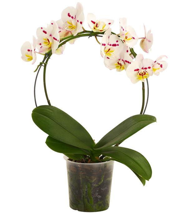 Schmetterlingsorchidee, Bogen, verschiedene Sorten