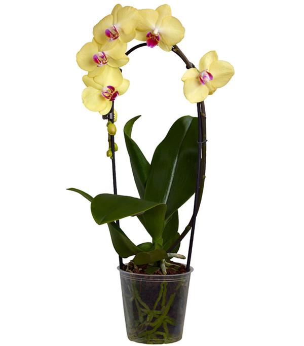 Schmetterlingsorchidee 'Cascade', 1-Trieber