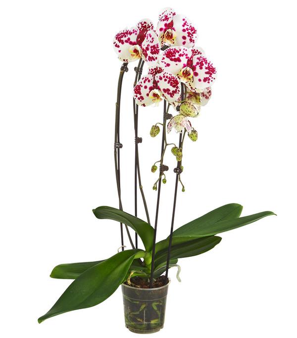 Schmetterlingsorchidee 'Cascade' Mix, 2-Trieber