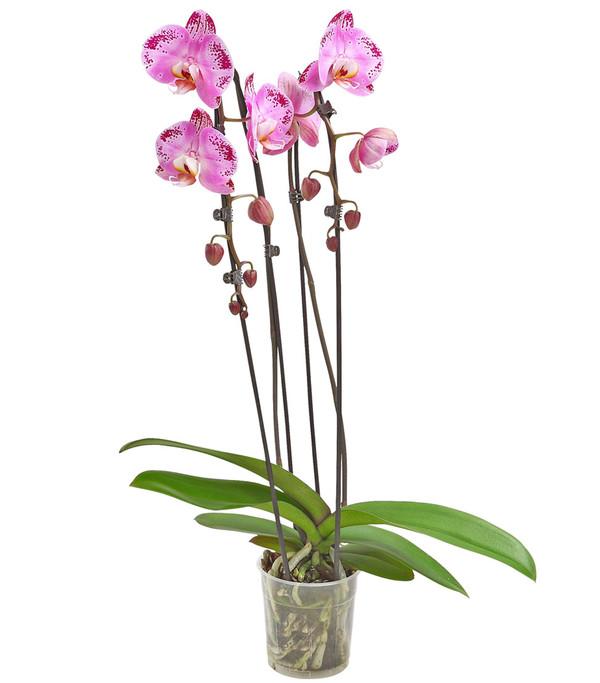 Schmetterlingsorchidee 'Cascade', verschiedene Sorten