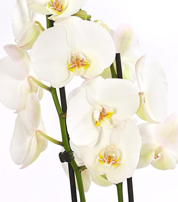 Schmetterlingsorchidee, großblütig