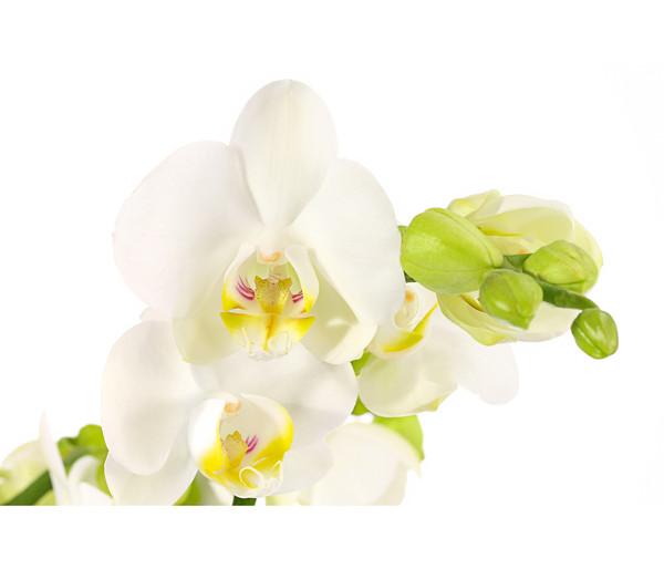 Schmetterlingsorchidee 'Little Kolibri'