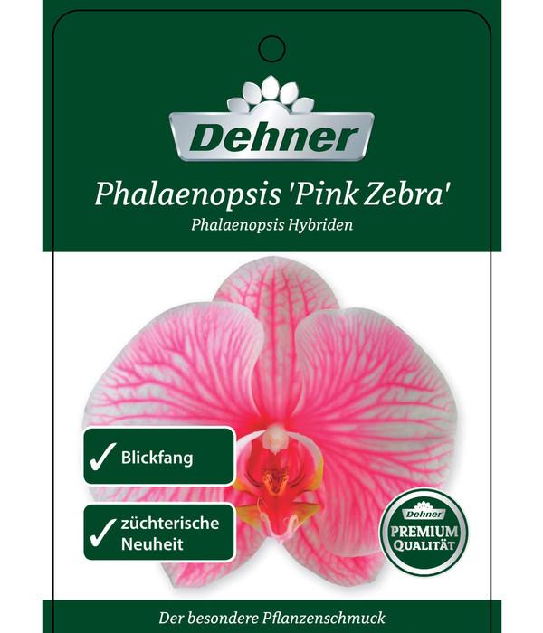 Schmetterlingsorchidee 'Pink Zebra'