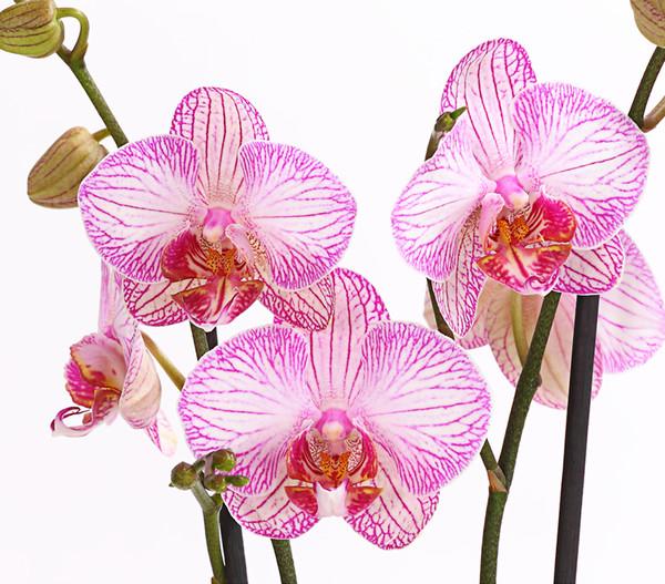 Schmetterlingsorchidee Sortenmix, 2-Trieber