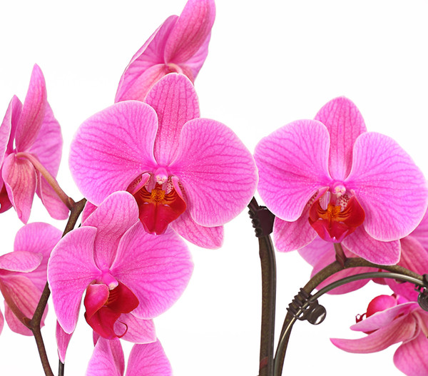 Schmetterlingsorchidee 'Umbrella'
