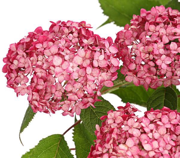 Schneeball-Hortensie 'Ruby Annabelle'
