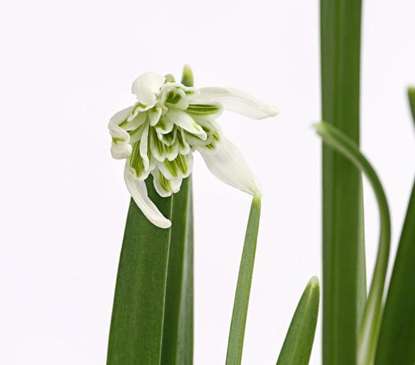 Schneeglöckchen 'Flore Pleno'
