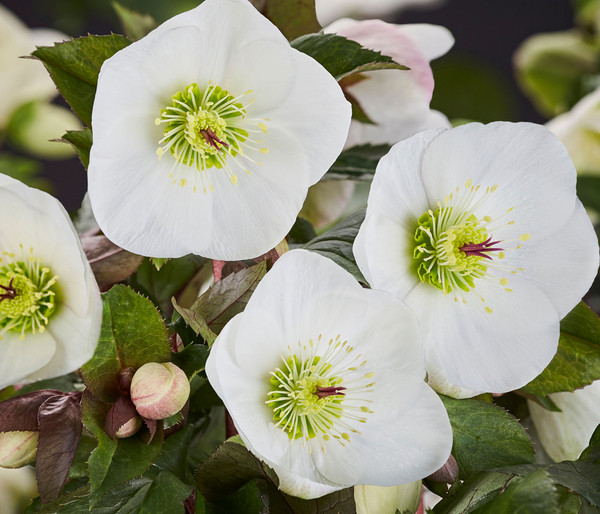 Schneerose 'Ice N' Roses® Bianco' - Helleborus Gold Collection®