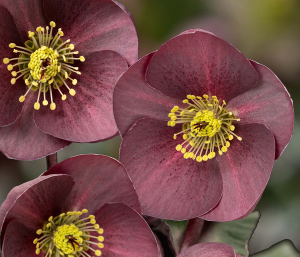 Schneerose 'Ice N' Roses® Nightingale' - Helleborus Gold Collection®