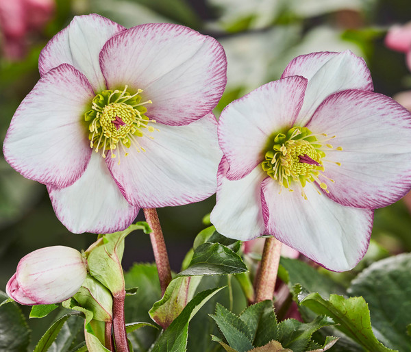 Schneerose 'Ice N' Roses® Picotee' - Helleborus Gold Collection®