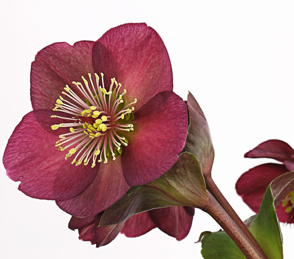 Schneerose 'Ice N' Roses® Red' - Helleborus Gold Collection®