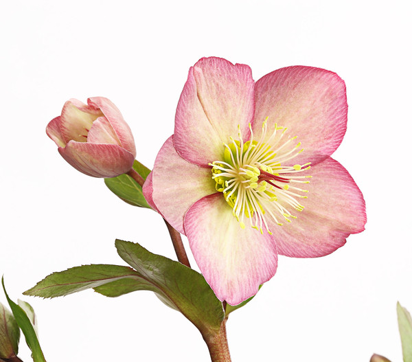 Schneerose 'Ice N' Roses® Rose' - Helleborus Gold Collection®
