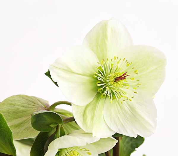 Schneerose 'Ice 'n' Roses® White' - Helleborus Gold Collection®