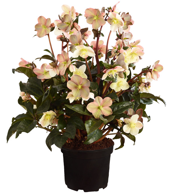 Schneerose 'Maestro'® - Helleborus Gold Collection®