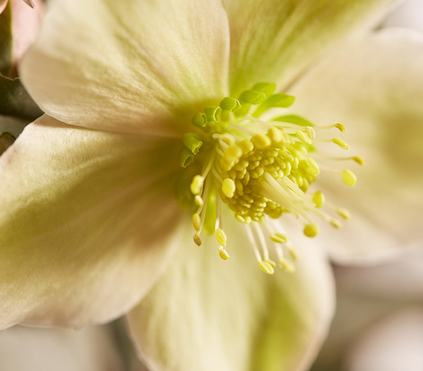 Schneerose 'Monte Christo'® - Helleborus Gold Collection®