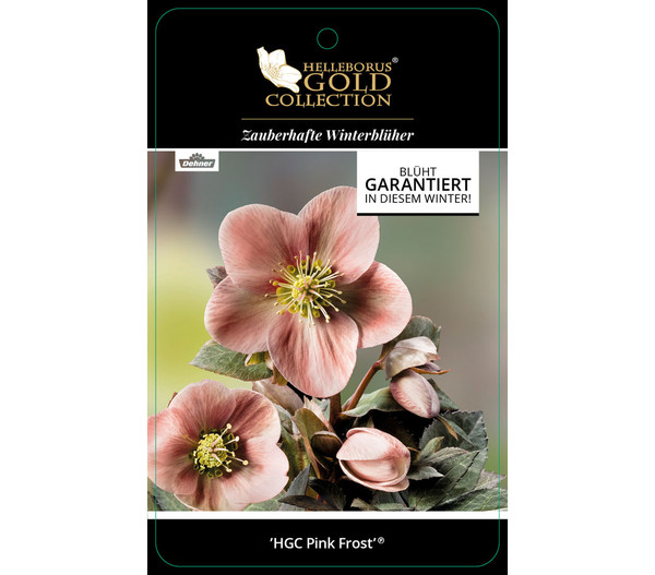 Schneerose 'Pink Frost' - Helleborus Gold Collection®