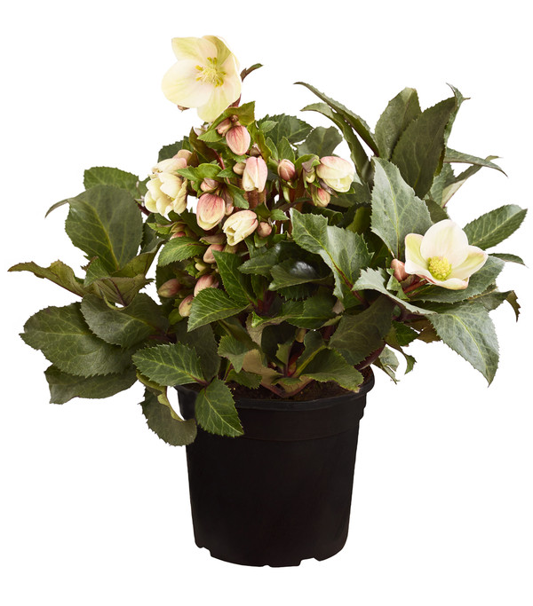 Schneerose 'Shooting Star'® - Helleborus Gold Collection®