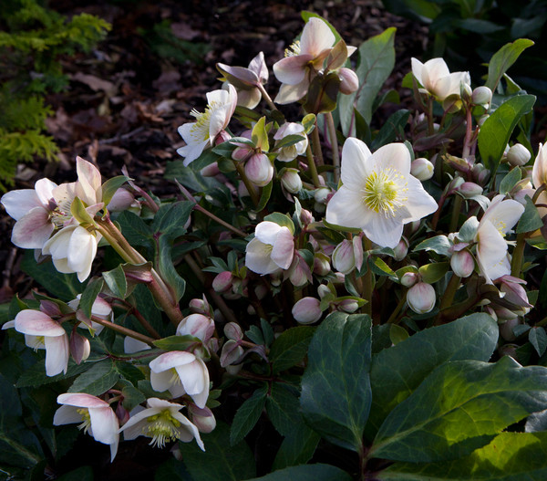 Schneerose 'Snow Dance'® - Helleborus Gold Collection®