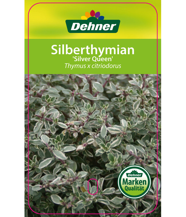 Silberthymian