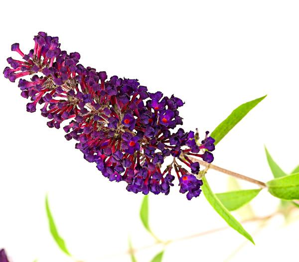 Sommerflieder - Schmetterlingsstrauch